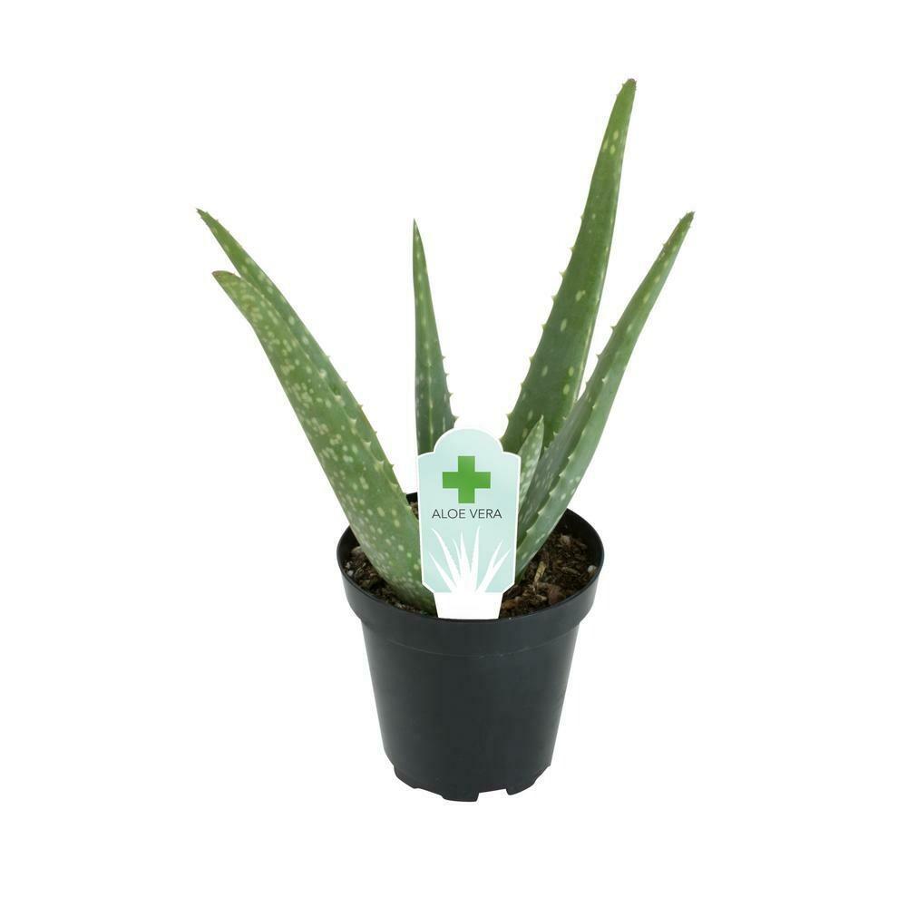 "4"" Aloe Plant"