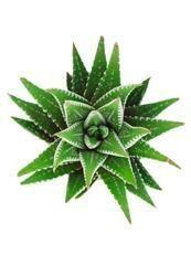 "Haworthia Zebra Plant 3.5"""