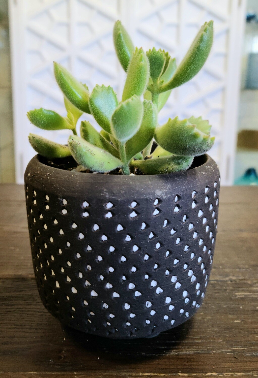 Delrado Potted Bear's Paw