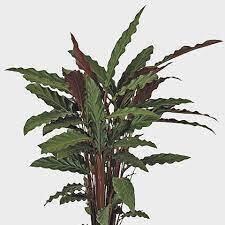 Calathea Rufibarbra