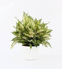 Chinese Evergreen First Diamond