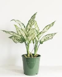 Chinese Evergreen Spring Snow