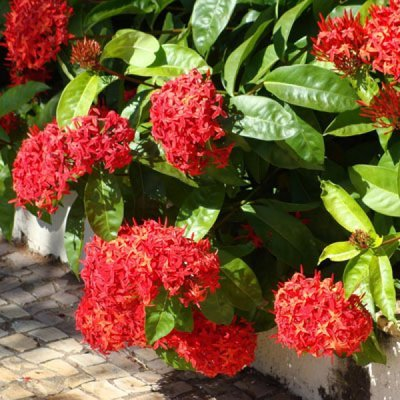 Ixora (Pack of 5) - Plant