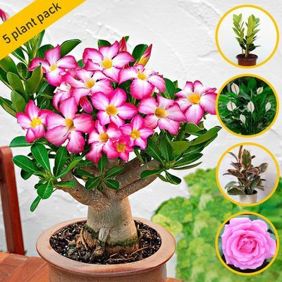 Top 5 Royal Gift Plant