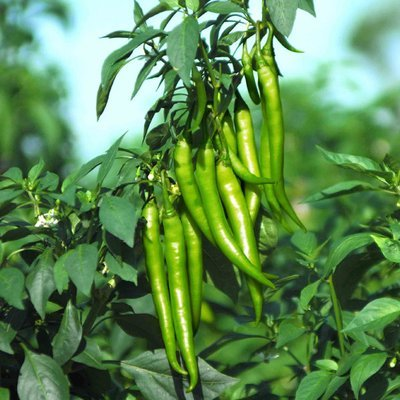 Chilli f1 hybrid - Desi Seeds