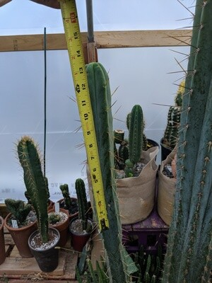 Bridgesii 'LEE'