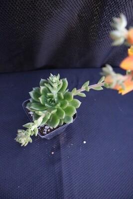 Echeveria species
