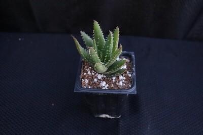 Aloe 'crosby's prolific'