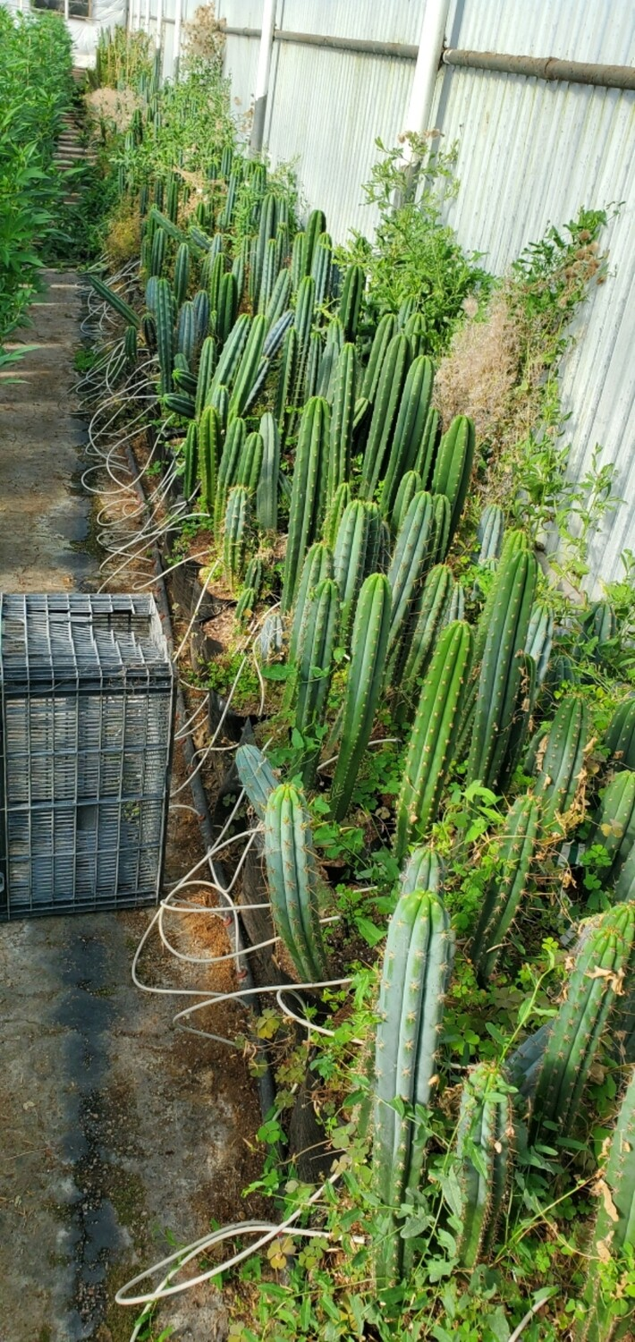 Miscellaneous seed grown trichocereus tips