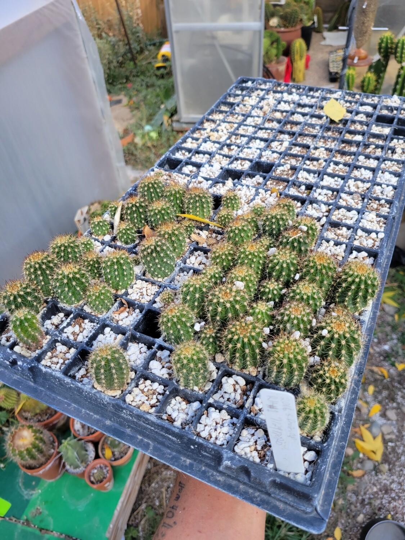 Richard hipp flowering hybrids