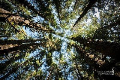 California Tree Tops
