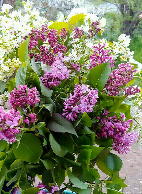 May 3 Lilac Bouquet