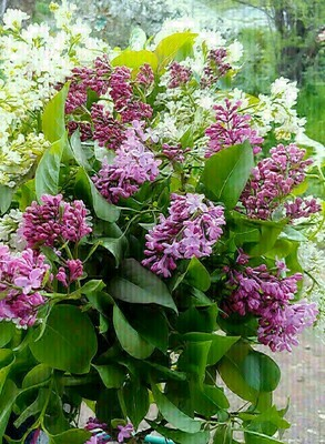 May 9 Lilac Bouquet - MOTHER'S DAY