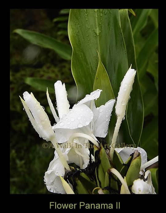 White Flower Panama II Photographic Print