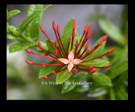 Red Flower Panama Photographic Print