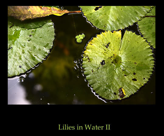 Lilies In Water II Photographic Print
