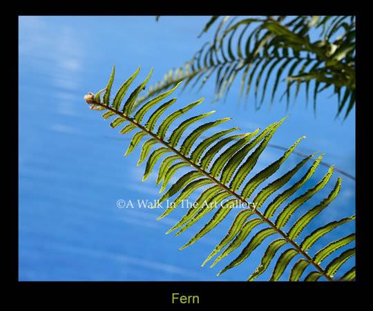 Fern Photographic Print