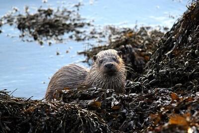 Tea towel - Otter