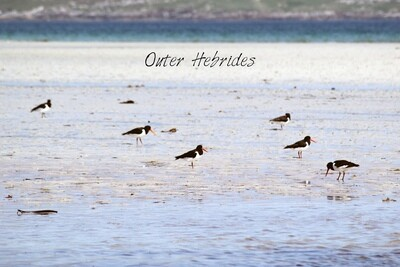 Tea towel - Oystercatchers