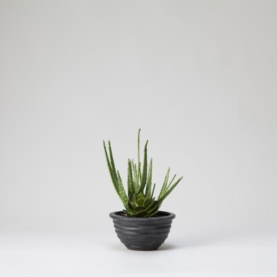 Aloe and Succulents in a Black Bowl - Green
