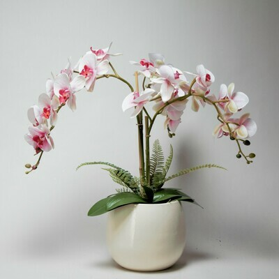 Phalaenopsis Orchid with Ferns in a Glazed Pot