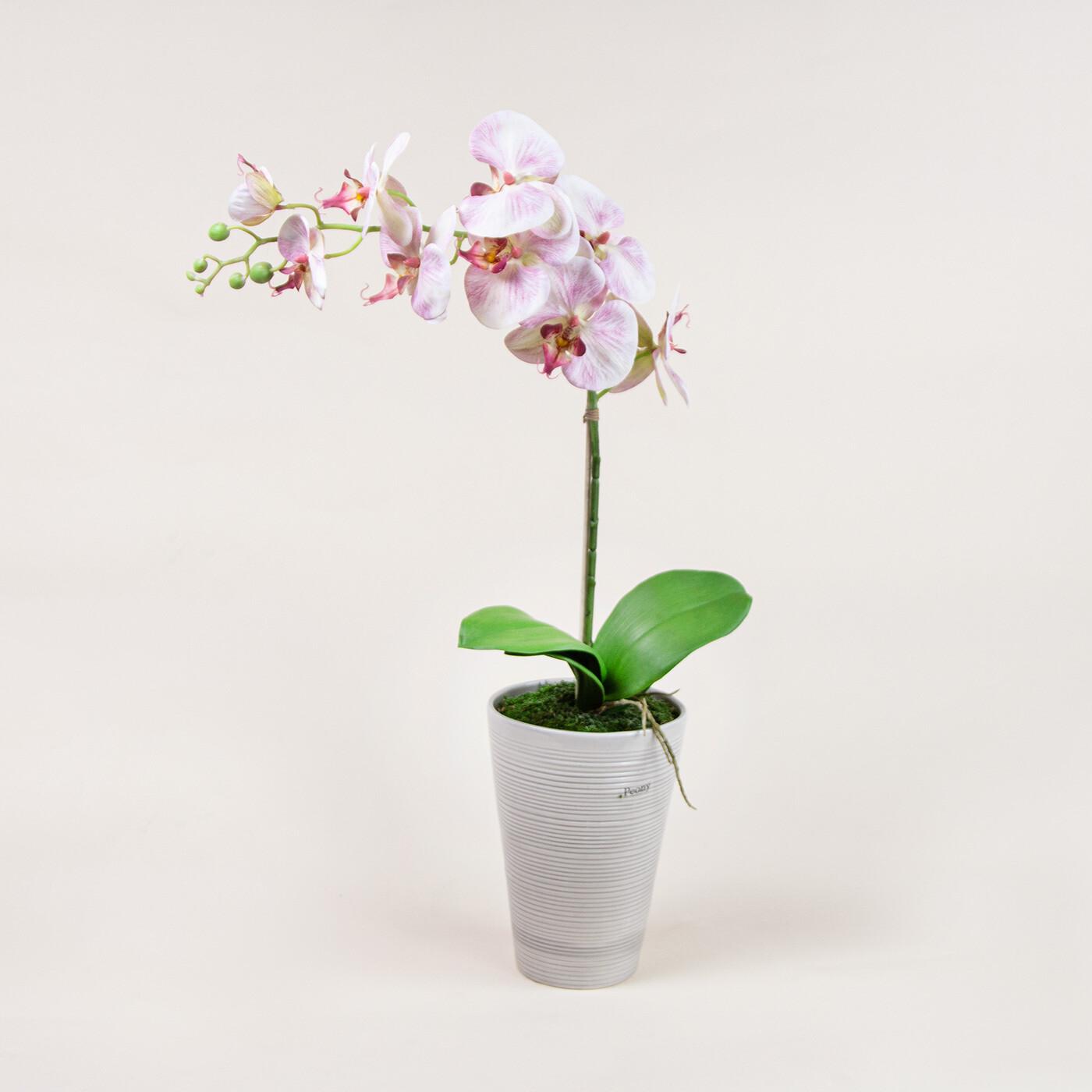 Phalaenopsis Orchid in Grey Ridged Pot