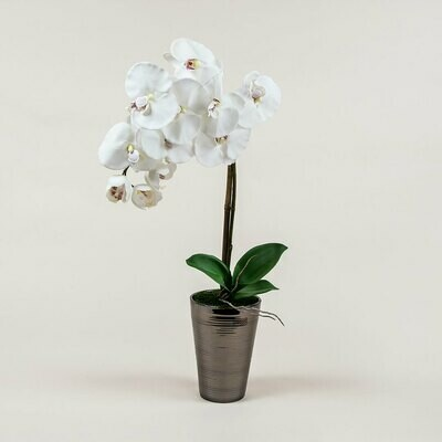 Phalaenopsis Orchid in Ridged Pot