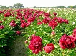"""Pre-sale Bare Root Peonies """"First Out"""" 3/5 Eye."""