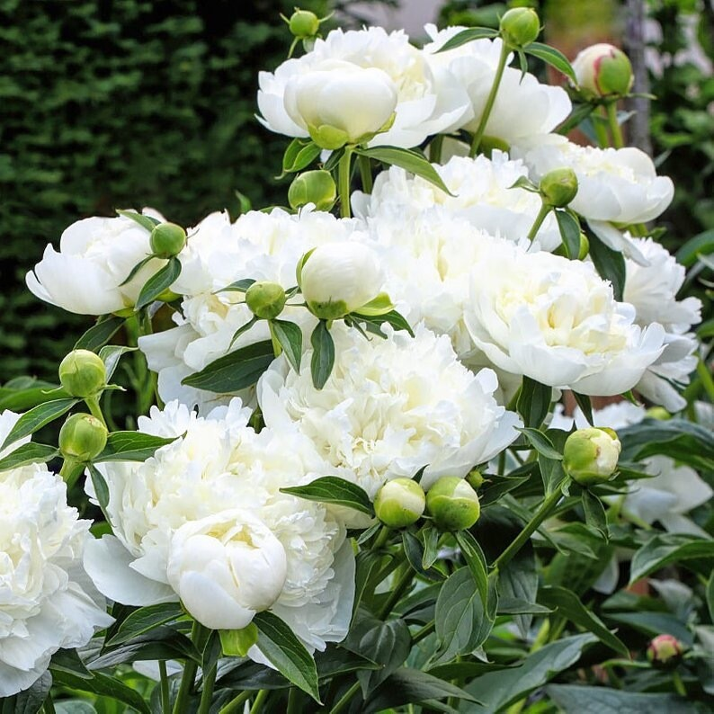 "Pre-Sale Bare Root Peonies ""Duchess D' Nemours"" 3/5 Eye!"