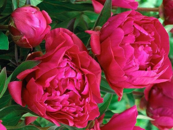 "Pre-Sale Bare Root Peonies ""Karl Rosenfeld"" 3/5 Eye."