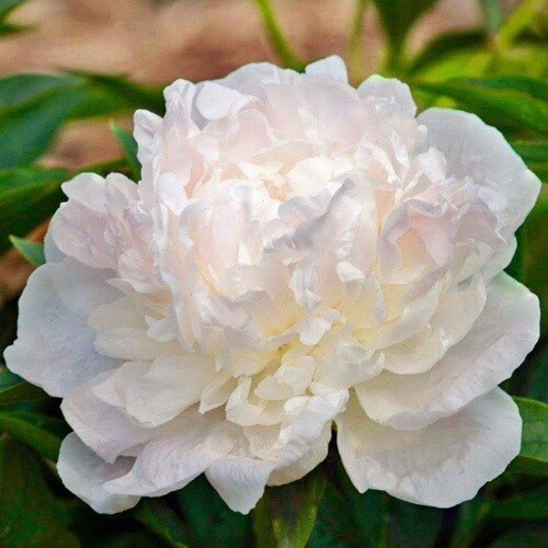 "Pre-Sale Bare Root Peonies ""Auten's White"" 3/5 Eye"