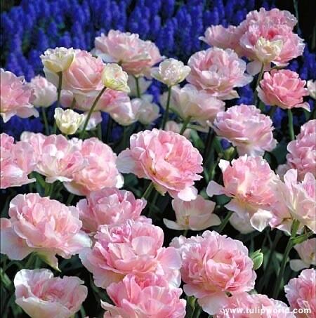"Pre-sale Tulip Bulbs (10/bag) ""Finola Pink"""