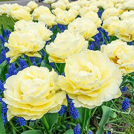 "Pre-sale Tulip Bulbs (10/bag) ""Avant Garde"""