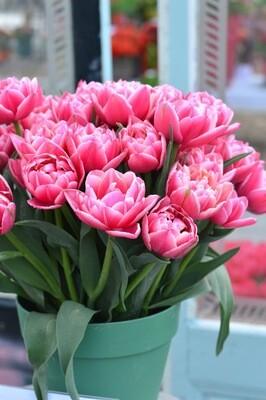 "Pre-sale Tulip Bulbs (10) ""Columbus"""