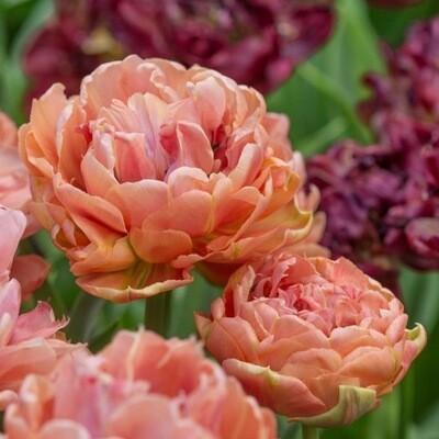 """Pre-sale Tulip Bulbs (10) """"Copper Image"""""""