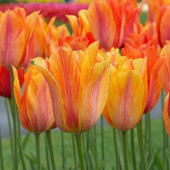 """Pre-sale Tulip Bulbs (10) """"El Niño"""""""