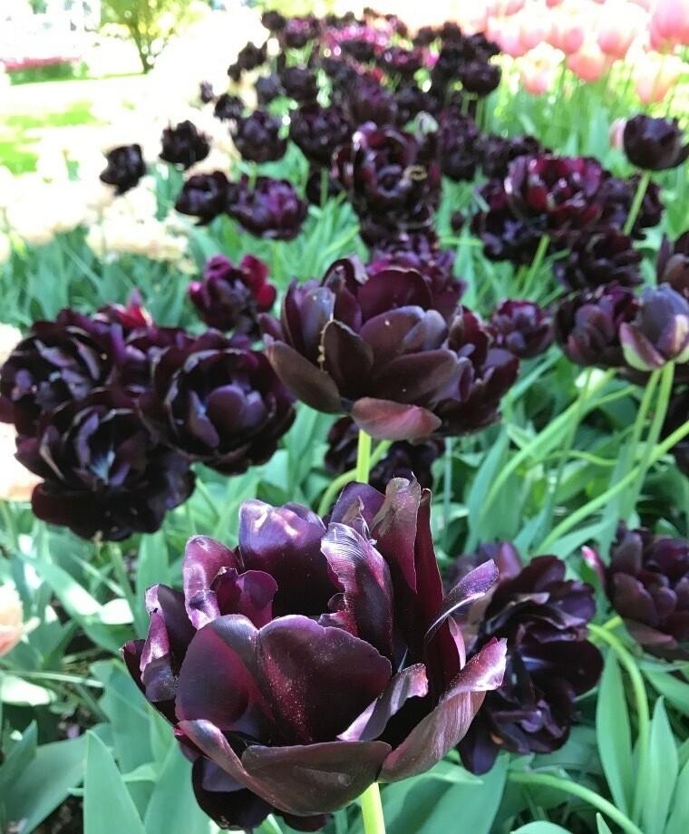 "Pre-sale Tulip Bulbs (10) ""Black Hero"""