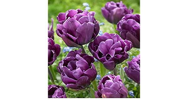 "Pre-sale Tulip Bulbs (10) ""Alicante"""