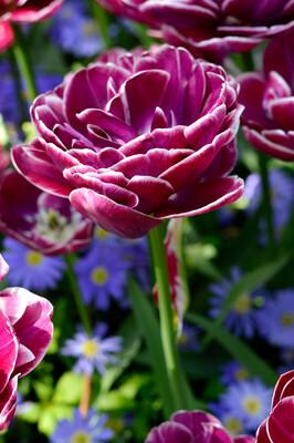 "Pre-sale Tulip Bulbs (10) ""Dream Touch"""