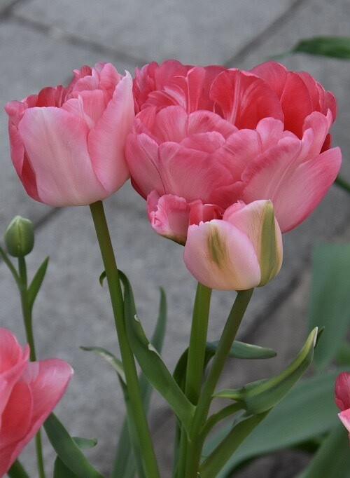 "Pre-sale Tulip Bulbs (10) ""Princess Angelique"""
