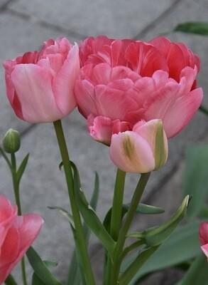 """Pre-sale Tulip Bulbs (10) """"Princess Angelique"""""""