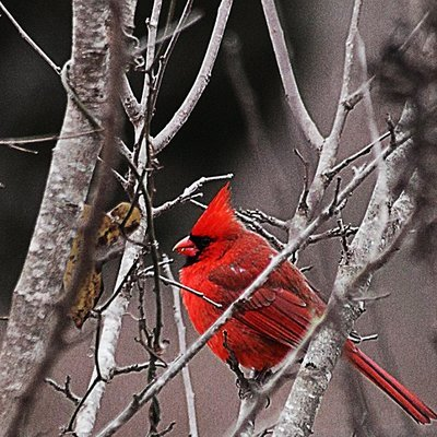 Photo Greeting Cards (Set of 4) - Cardinal