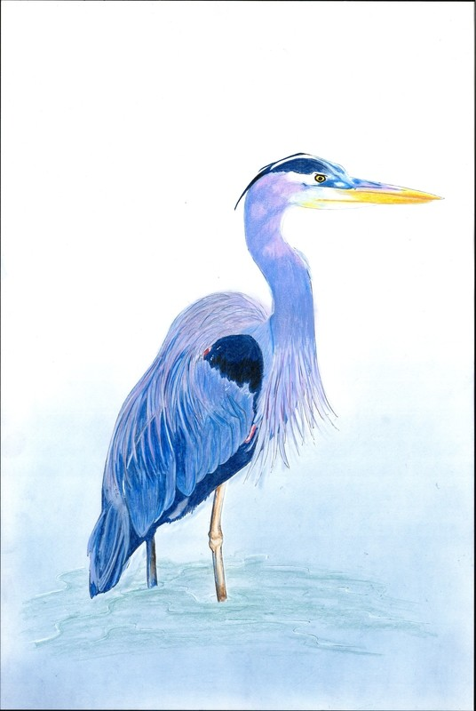 Great Blue Heron - Individual  Large Notecard