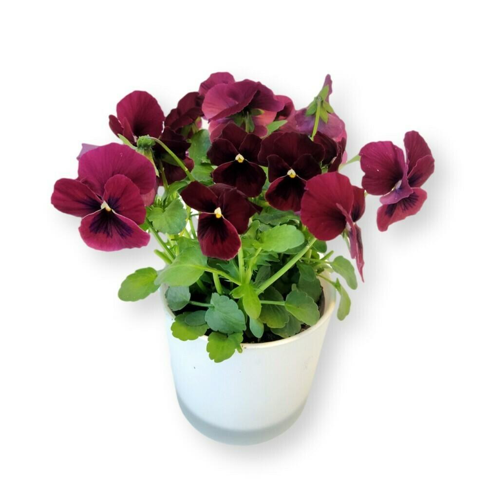 Hornveilchen rot-schwarz 'Viola cornuta'