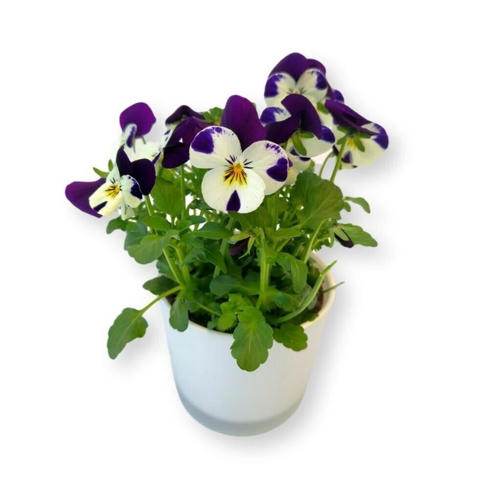 Hornveilchen weiss-blau 'Viola cornuta'
