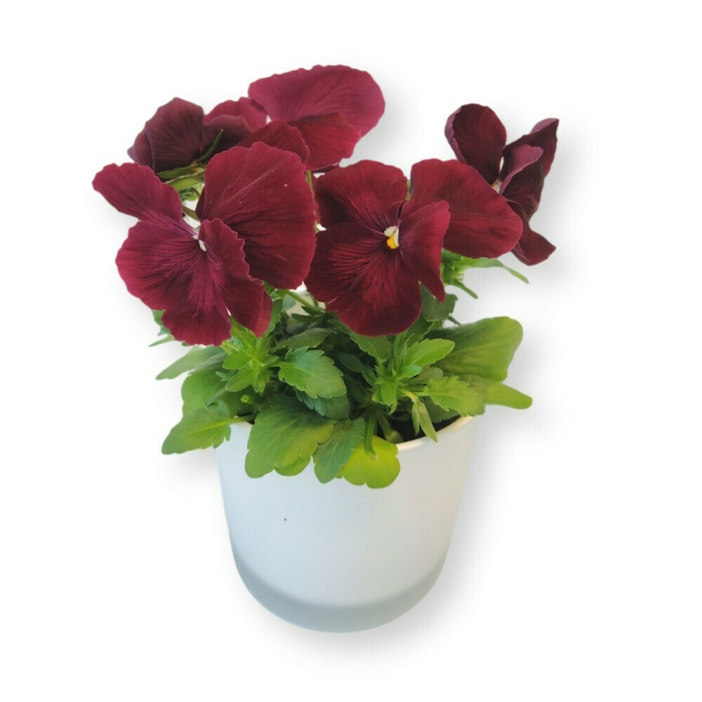 Stiefmütterchen rot 'Viola x wittrockiana'