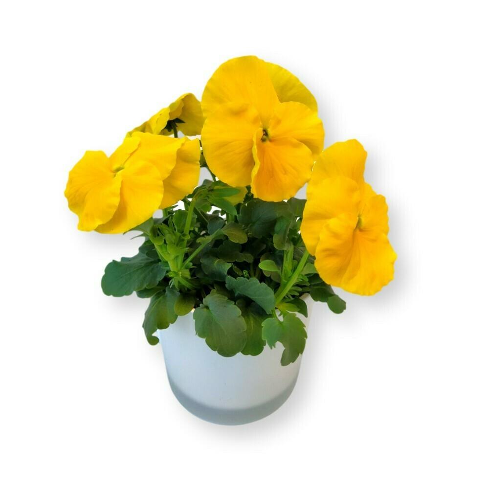 Stiefmütterchen gelb 'Viola x wittrockiana'