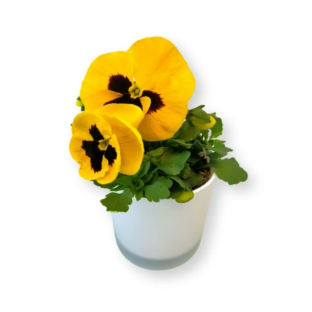 Stiefmütterchen gelb mit Auge 'Viola x wittrockiana'