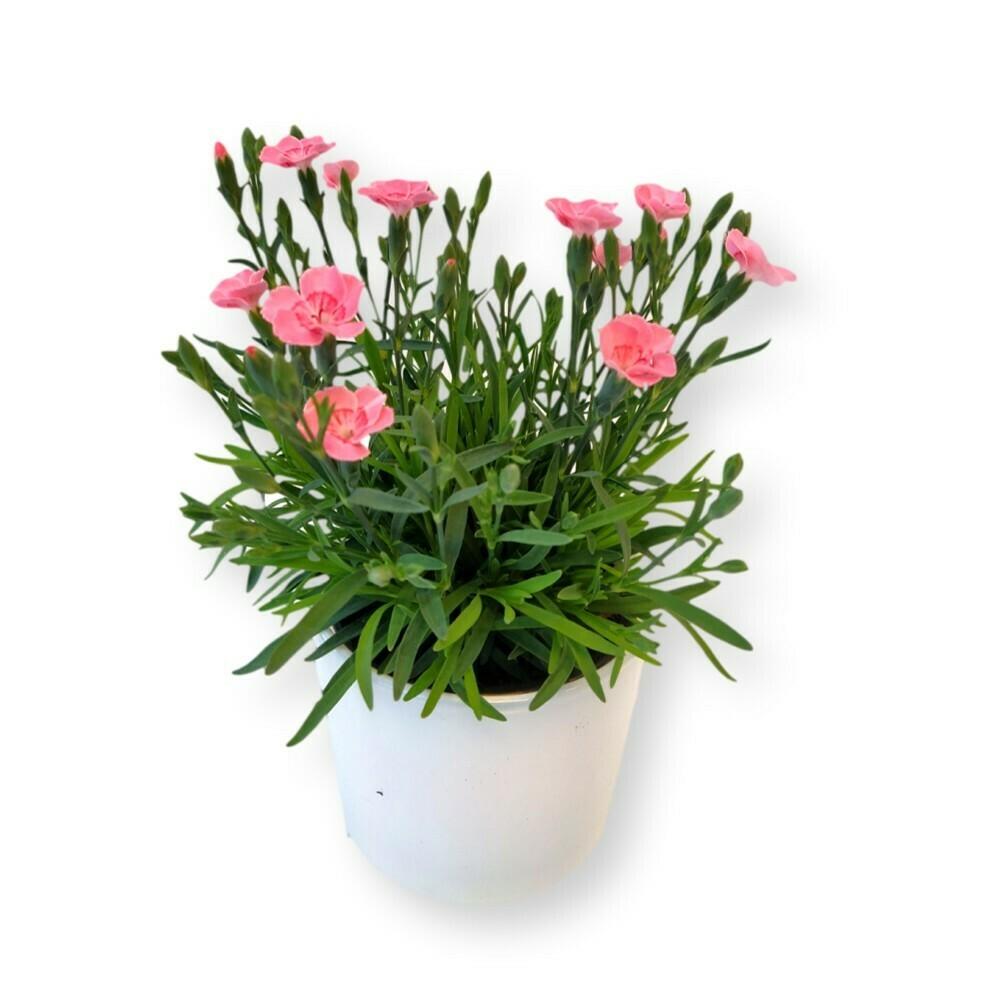 Nelke pink 'Dianthus garyophyllus'