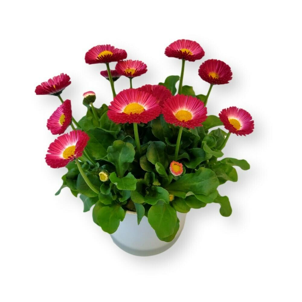 Gänseblümchen pink-rot 'Bellis perennis'